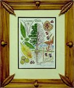 American Chestnut Botanical Print in Hand-Carved Chestnut Frame