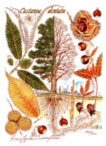 American Chestnut Botanical Print, Matted