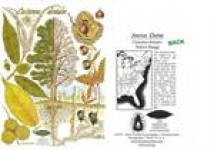 American Chestnut Botanical Cards