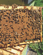 Hive of Honey Bees