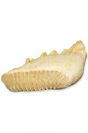 African & Asian Elephant Teeth Replicas -- Need 2 of Each -- $460.00 Total (includes shipping)